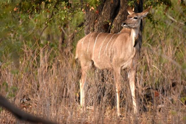 Kudu 20181024 Letaba (10)ACSUM